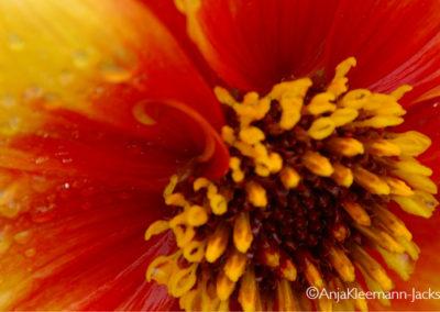 A.Kleemann-Jacks-FlowerOrange
