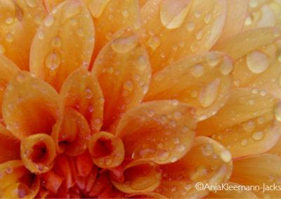 A.Kleemann-Jacks-FlowerYellow